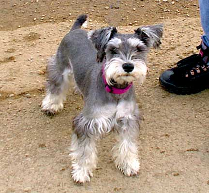 This is Stuka a young minature Schnauzer with a very fancy hair cut.